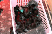 FlatcoatedRetriever-Nest-Week2_Pups