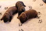 FlatcoatedRetriever-Nest2020-Week2-PuppysLimit
