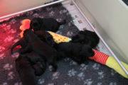 FlatcoatedRetriever-Nest2020-Week3-YunaBlackPuppies