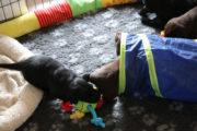 FlatcoatedRetriever-NestLimit2020-Week4-Puppies