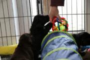 FlatcoatedRetriever-NestLimit2020-Week4-Puppies1