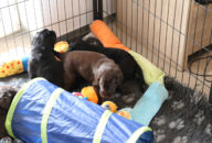 FlatcoatedRetriever-NestLimit2020-Week4-Puppys