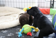 FlatcoatedRetriever-NestLimit2020-Week4-Puppys2