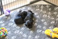 FlatcoatedRetriever-NestLimit2020-Week4-Pups
