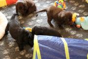 FlatcoatedRetriever-NestLimit2020-Week4-Pups1