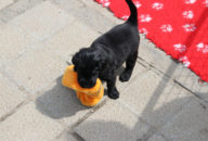 FlatcoatedRetriever-NestLimit2020-Week5-Pups