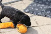 FlatcoatedRetriever-NestLimit2020-Week5-Pups2