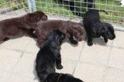 FlatcoatedRetriever-NestLimit2020-Week5-Pups9