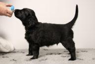 FlatcoatedRetriever-NestLimit2020-Week6-Pup-Bruin02