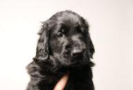 FlatcoatedRetriever-NestLimit2020-Week6-Pup-Bruin04