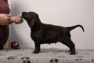 FlatcoatedRetriever-NestLimit2020-Week6-Pup-Grijs02