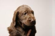 FlatcoatedRetriever-NestLimit2020-Week6-Pup-Grijs04
