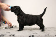 FlatcoatedRetriever-NestLimit2020-Week6-Pup-Oranje01