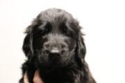 FlatcoatedRetriever-NestLimit2020-Week6-Pup-Oranje04