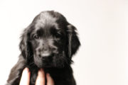 FlatcoatedRetriever-NestLimit2020-Week6-Pup-Rood
