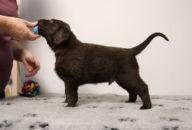 FlatcoatedRetriever-NestLimit2020-Week6-Pup-Zwart01