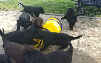 FlatcoatedRetriever-NestLimit&Ynua-2020-Week6Pups-PlayingOutside