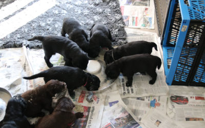 FlatcoatedRetriever-NestLimitYuna2020-Week5-Pups-Papje
