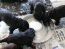 FlatcoatedRetriever-NestLimitYuna2020-Week5-Pups-Papje10