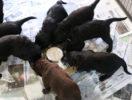 FlatcoatedRetriever-NestLimitYuna2020-Week5-Pups-Papje12