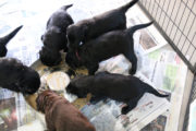 FlatcoatedRetriever-NestLimitYuna2020-Week5-Pups-Papje13