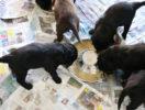 FlatcoatedRetriever-NestLimitYuna2020-Week5-Pups-Papje14