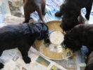 FlatcoatedRetriever-NestLimitYuna2020-Week5-Pups-Papje15