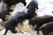 FlatcoatedRetriever-NestLimitYuna2020-Week5-Pups-Papje17