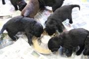 FlatcoatedRetriever-NestLimitYuna2020-Week5-Pups-Papje18