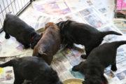 FlatcoatedRetriever-NestLimitYuna2020-Week5-Pups-Papje19