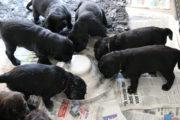FlatcoatedRetriever-NestLimitYuna2020-Week5-Pups-Papje2