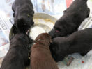 FlatcoatedRetriever-NestLimitYuna2020-Week5-Pups-Papje22