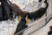 FlatcoatedRetriever-NestLimitYuna2020-Week5-Pups-Papje23