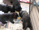 FlatcoatedRetriever-NestLimitYuna2020-Week5-Pups-Papje24