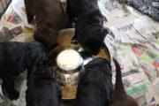 FlatcoatedRetriever-NestLimitYuna2020-Week5-Pups-Papje25