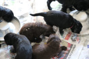 FlatcoatedRetriever-NestLimitYuna2020-Week5-Pups-Papje5