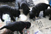 FlatcoatedRetriever-NestLimitYuna2020-Week5-Pups-Papje9
