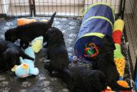 FlatcoatedRetriever-NestYuna2020-Week4-Pupdog