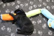 FlatcoatedRetriever-NestYuna2020-Week4-Puppie