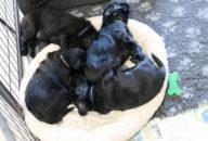 FlatcoatedRetriever-NestYuna2020-Week4-Puppies