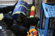 FlatcoatedRetriever-NestYuna2020-Week4-Puppies1