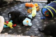 FlatcoatedRetriever-NestYuna2020-Week4-Puppy