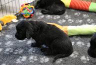 FlatcoatedRetriever-NestYuna2020-Week4-Puppy1