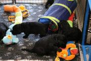 FlatcoatedRetriever-NestYuna2020-Week4-Puppys1