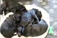 FlatcoatedRetriever-NestYuna2020-Week4-Pups