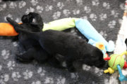 FlatcoatedRetriever-NestYuna2020-Week4-Pupsdogs