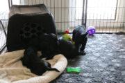 FlatcoatedRetriever-NestYuna2020-Week5-Pups