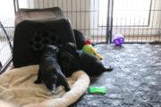 FlatcoatedRetriever-NestYuna2020-Week5-Pups1