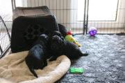 FlatcoatedRetriever-NestYuna2020-Week5-Pups2
