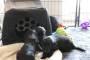 FlatcoatedRetriever-NestYuna2020-Week5-Pups3
